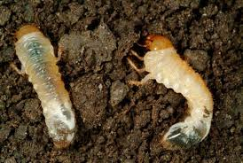 Biological Control Of Grass Grubs Insect Pests Of Crops Pasture