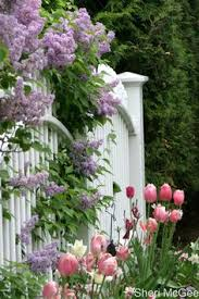 lilac festival every year wow didn t think about checking out lilac festivals i love the white picket fence w purple flowers hanging over it