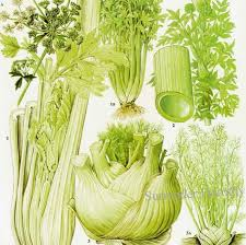 Food Celery Chart Fennel Celery Angelica Salad Plant Flowers Food Chart Vegetable Botanical Lithograph Illustration For Your Vintage Kitchen 149