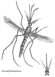El mosquito y porque debemos preocuparnos – El Redondelito
