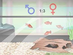 Platy Compatibility Chart 3 Ways To Breed And Care For Platies Wikihow