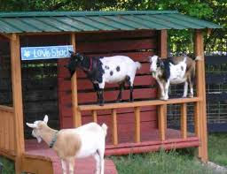 155 best raising goats images on unique goat shelter plans pygmy