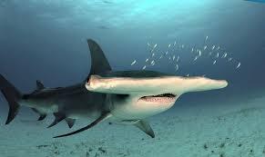 hammerhead shark facts for kids. Modren Hammerhead Q How Big Are Hammerhead Sharks To Hammerhead Shark Facts For Kids H