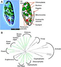 What Detects Light In The Euglena The Transcriptome Of Euglena Gracilis Reveals Unexpected