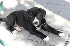 west palm beach fl retriever meet renna a dog for adoption
