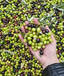 Slikovni rezultat za toscana italy olive oil