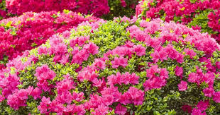 Azalea Size Chart Growing The Azalea Plant How To Care For The Azalea Flower