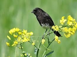 Anis kembang ngeplong gacor di pagi hari, apapun burung anda pasti ikutan nyaut. Download Suara Burung Decu Kembang Kacer Mini Gacor