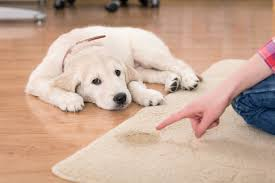 guilty golden retriever puppy pet stain how to clean dog out of carpet
