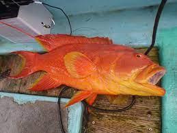 シガテラ 海水 魚