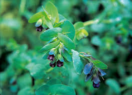 Cerinthe major 'Purpurascens' | honeywort 'Purpurascens'/RHS ...