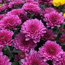 chrysanthemum growing and care tips