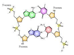 Сколько цепей в днк, в состав молекулы днк входит