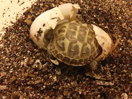 Russian Tortoise Care Tips