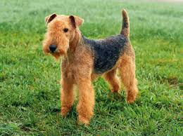 Image result for PICTURE OF LAKELAND TERRIER DOG