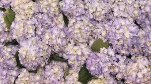 Flower Wall Hydrangea Flower Wall Youtube