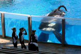 tilikum isolated. Fine Isolated Image And Tilikum Isolated S