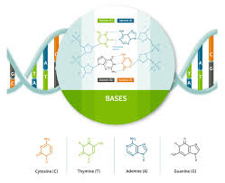 Dna Molecules Nucleotides Ancestrydna Learning Hub