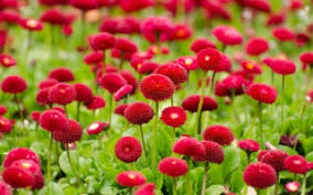 Red Flower Wallpaper Red Flowers Wallpaper Wallpapers For Free Download About 3 596
