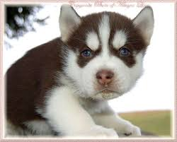 dark red husky puppy. Interesting Puppy Dark Red Siberian Husky Puppy HuskiesSiberian  PicturesHuskies Page 4 Throughout I