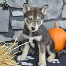 donny 800 00 dundee oh siberian husky mix puppy