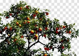 bitter orange fruit tree tangelo