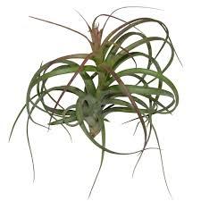 'Heather's Blush' Air Plants. '