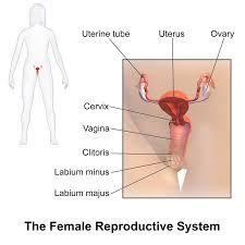 <b>Female reproductive system</b> - Wikipedia