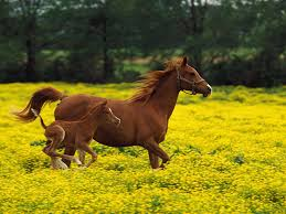 beautiful baby horses wallpaper. Simple Horses Horse White Faces Pitures  Adult Brown Horse With A Young And  Yellow Flowers Desktop  In Beautiful Baby Horses Wallpaper Pinterest