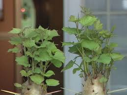 sweet potato houseplant. Brilliant Potato Step 1 Sweet Potatoes  Inside Potato Houseplant G