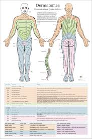 Chiropractic Body Chart Dermatomes Myotomes And Dtr Poster 24 X 36 Chiropractic Medical Chart
