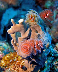 Christmas Presents On A Coral Reef  Madang  Ples Bilong MiChristmas Tree Worm Facts