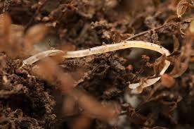 where do pot worms come from compost garden soil has worms