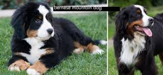 Bernese Mountain Dog Lifespan In Fun Are Y Meet Loveable