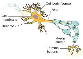 Neurons Introduction To Psychology