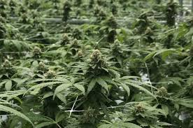 Change On Marijuana Blogs Industry Florida For Medical The 's Horizon 6ppdwzrq0