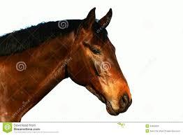 draft horse head profile. Unique Draft Horse Profile Head Portrait On White Inside Draft Head Profile