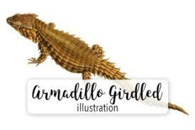Armadillo Girdled Lizard Watercolor Graphic By Enliven Designs Creative Fabrica