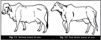 essay on domestic animals of  sahiwal breed of cow and red sindhi breed of cow