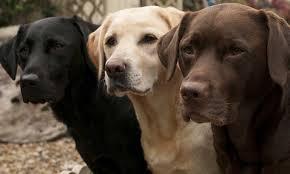 Bva Hip Dysplasia Scheme For Dogs