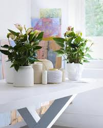 White planters featuring Anthurium plants in the home #decor #interiors
