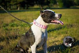 pink spiked leather collar for pitbull walking