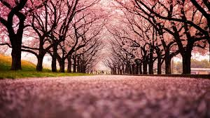 DD8888 Color wallpapers Peach Japan Trees Wallpaper Nature