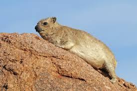 Rodents Lower Classifications Hyrax Wikipedia