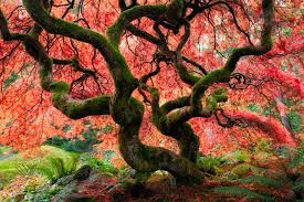 growing japanese maples new zealand