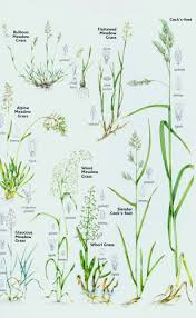 Grass Identification Chart Uk 19 Extraordinary Grass Identification Pictures
