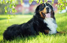 bernese mountain dog. about the bernese mountain dog breed a