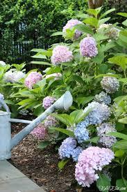 simple gardening tips and tricks love this hedge of hydrangeas kellyelko com hydrangeas