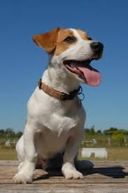 jack russell terrier mixed breeds. The Jack Russell Is Small Terrier Breed Characterized By White Rough Skin Coat Its Length Ranges From 10 To 15 Inches And Weight Between 14 18 For Mixed Breeds