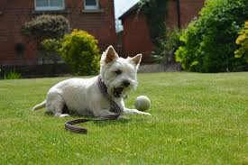 are cairn terriers hypoallergenic dogs